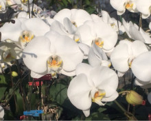 キラキラ胡蝶蘭