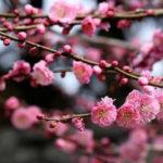 1月01日の誕生花と花言葉♪梅