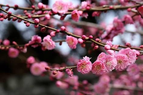 誕生花 花言葉 梅