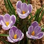 1月3日の誕生花と花言葉♪クロッカス