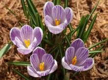 クロッカス 誕生花 花言葉
