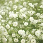 1月05日の誕生花と花言葉♪かすみ草