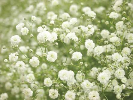 花言葉 誕生花 カスミ草