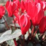 1月07日の誕生花と花言葉♪シクラメン