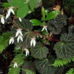 1月09日の誕生花と花言葉♪ユキノシタ