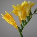 1月11日の誕生花と花言葉♪フリージア