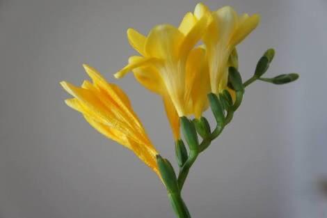 1月11日の誕生花 花言葉 フリージア