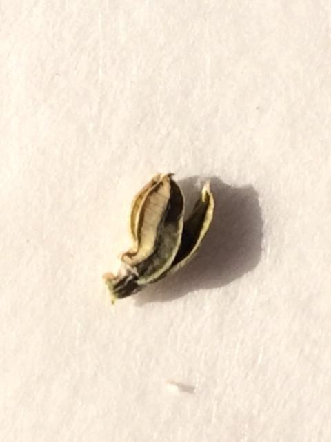 ハオルチア 交配 種子 乾燥