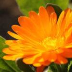 2月08日の誕生花と花言葉♪キンセンカ(カレンデュラ)