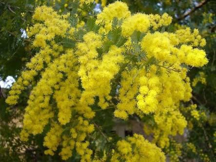 2月14日の誕生花と花言葉♪ミモザ