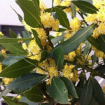 2月16日の誕生花と花言葉♪月桂樹