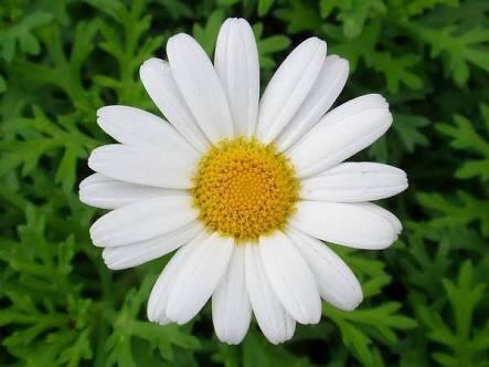 2月20日の誕生花と花言葉♪マーガレット