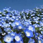 2月21日の誕生花と花言葉♪ネモフィラ