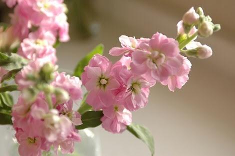 3月2日の誕生花と花言葉♪ストック
