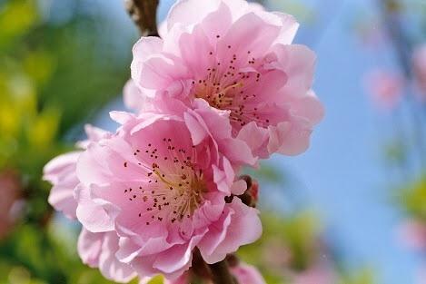 3月1日の誕生花と花言葉♪杏