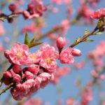 3月3日の誕生花と花言葉♪桃