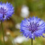 3月5日の誕生花と花言葉♪矢車菊