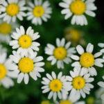 3月6日の誕生花と花言葉♪デイジー