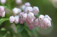 3月9日の誕生花と花言葉♪あせび