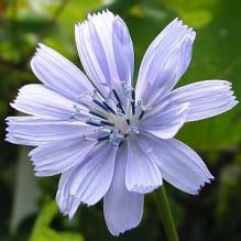 3月11日の誕生花と花言葉♪チコリ