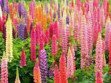 3月17日の誕生花と花言葉♪ルピナス