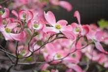 3月18日の誕生花と花言葉♪ハナミズキ