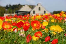 3月19日の誕生花と花言葉♪ポピー