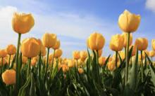 3月20日の誕生花と花言葉♪黄色のチューリップ