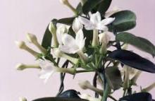 3月21日の誕生花と花言葉♪マダガスカルジャスミン