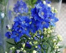 3月23日の誕生花と花言葉♪ディルフィニウム