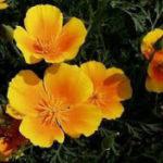 3月24日の誕生花と花言葉♪カリフォルニアポピー