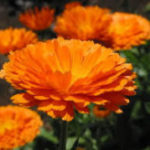 3月26日の誕生花と花言葉♪金盞花