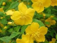 3月28日の誕生花と花言葉♪山吹