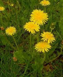 3月29日の誕生花と花言葉♪たんぽぽ