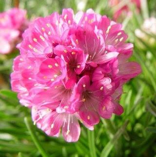 3月30日の誕生花と花言葉♪アルメリア