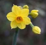 4月3日の誕生花と花言葉♪「黄水仙」