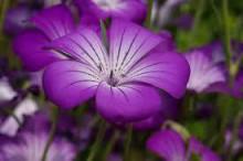 4月4日の誕生花と花言葉♪「麦仙翁」