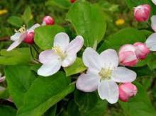 4月8日の誕生花と花言葉♪「林檎」