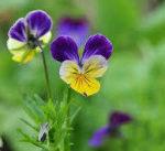 4月9日の誕生花と花言葉♪「パンジー」