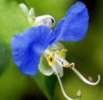 4月12日の誕生花と花言葉♪「ツユクサ」