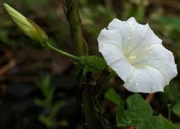 4月14日の誕生花と花言葉♪「セイヨウヒルガオ」