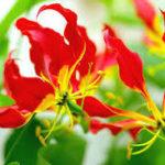 4月16日の誕生花と花言葉♪「グロリオサ」