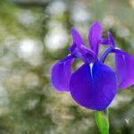 4月17日の誕生花と花言葉♪「カキツバタ」