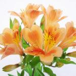 4月18日の誕生花と花言葉♪「アルストロメリア」