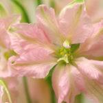 4月19日の誕生花と花言葉♪「ラクスパー」