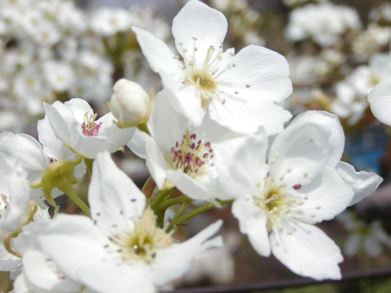 4月20日の誕生花と花言葉♪「梨の花」