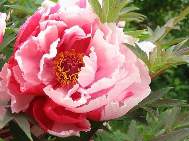4月21日の誕生花と花言葉♪「牡丹」