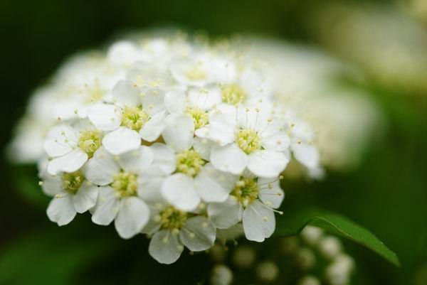 4月22日の誕生花と花言葉♪「コデマリ」