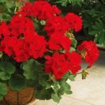 4月24日の誕生花と花言葉♪「ゼラニウム」