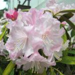 4月26日の誕生花と花言葉♪「シャクナゲ」
